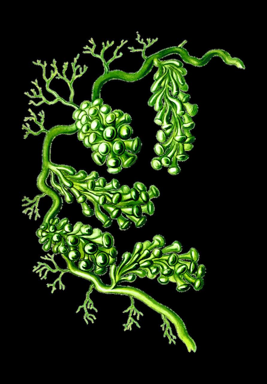 alga-1299962_1280
