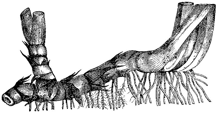 http://fr.wikipedia.org/wiki/Rhizome
